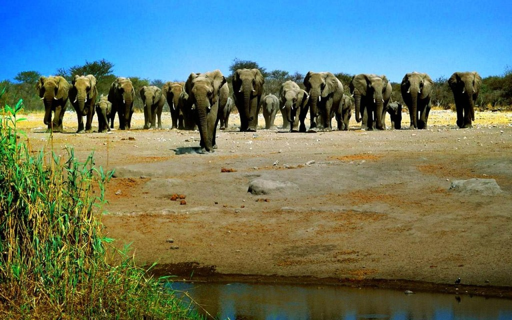 African Elephant Family drinking pound water 1024x640 Afirica Elephant Pictures Collections