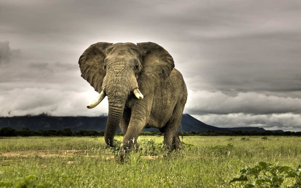 african elephant wallpaper 1024x640 Afirica Elephant Pictures Collections