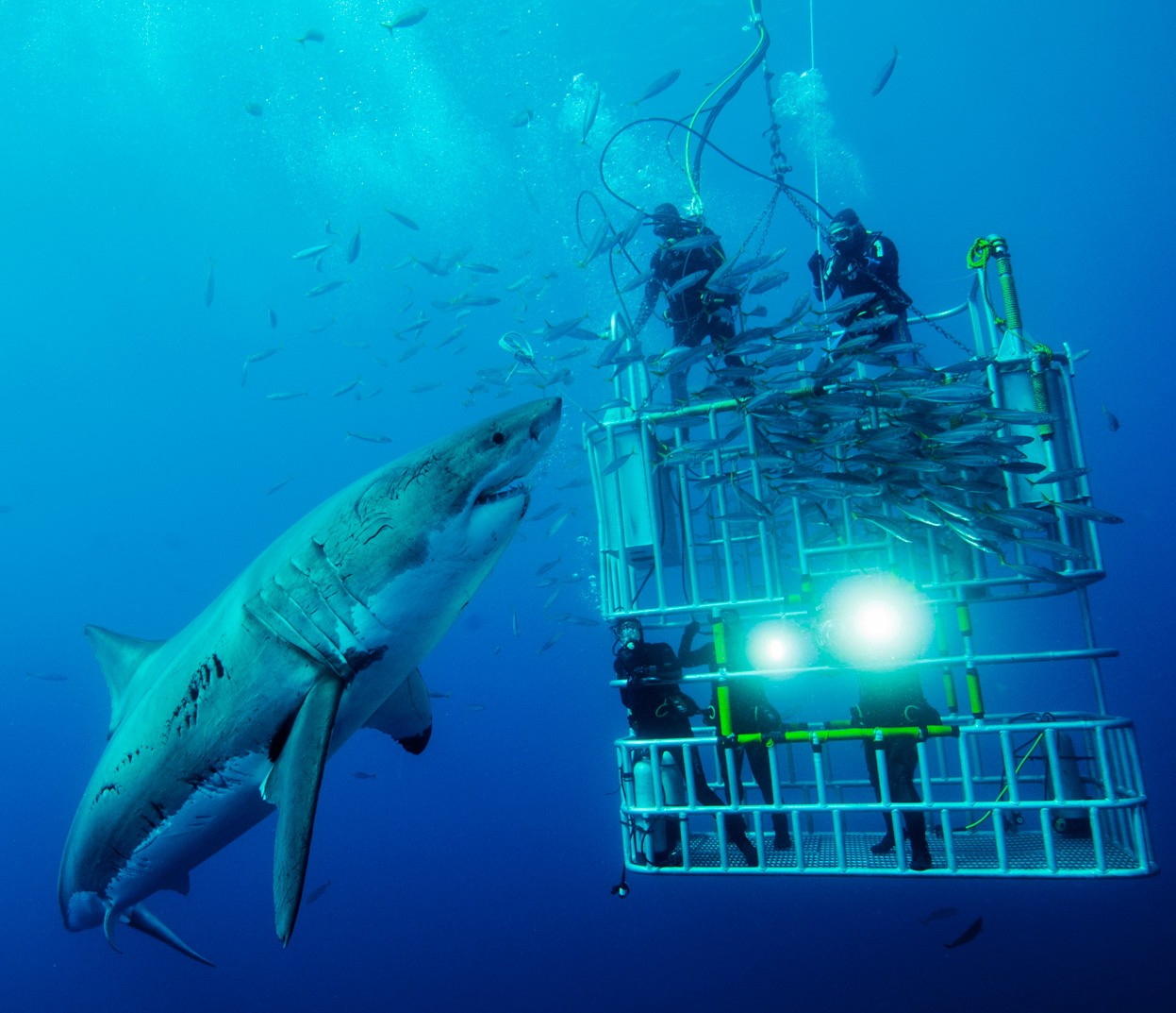 shark dive cage Underwater Animals