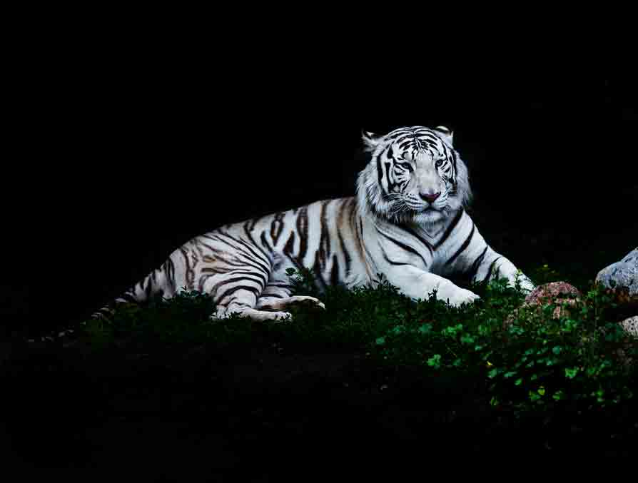 Black and White Tiger White Tiger