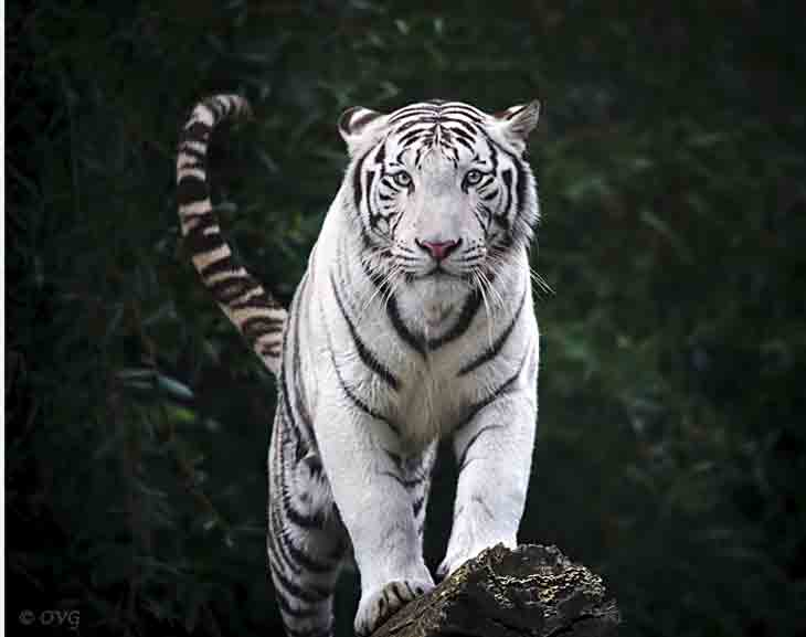 Untitled 1 White Tiger