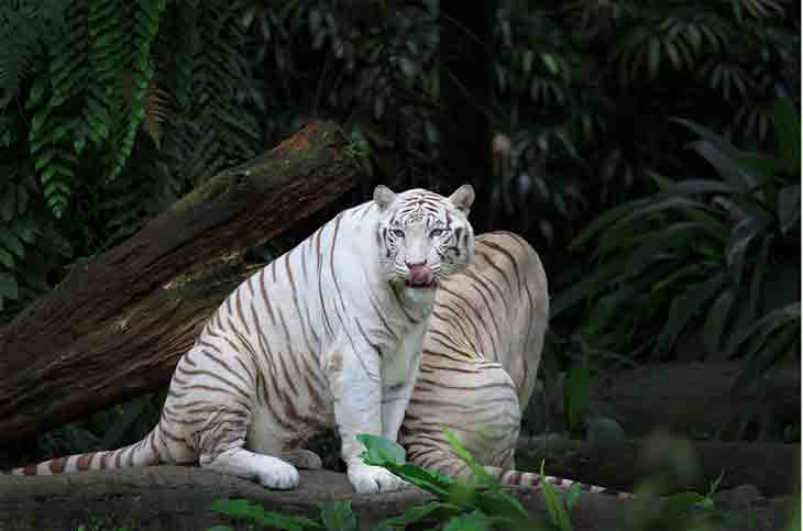 White Tiger Photography 03 White Tiger
