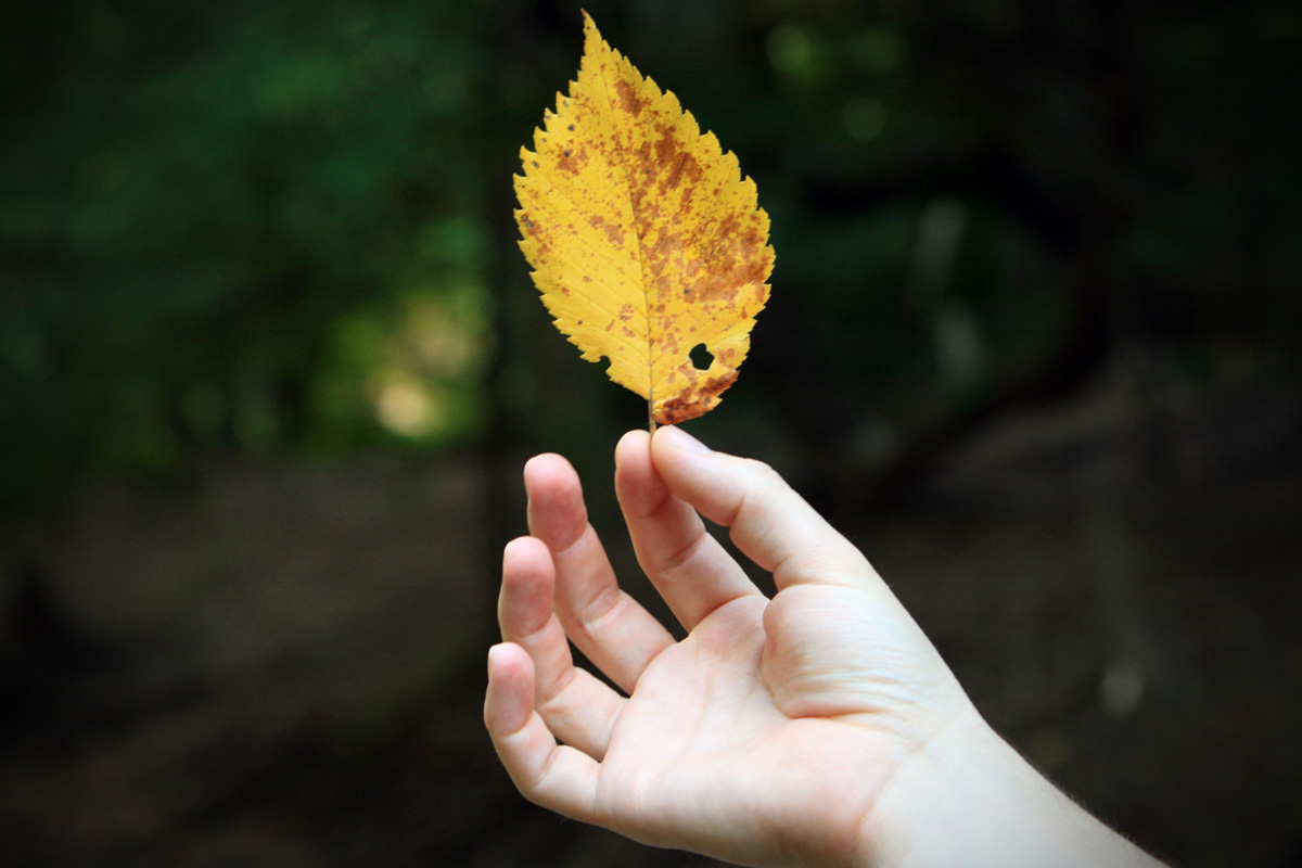 holding yellow leaf Leaf Photography
