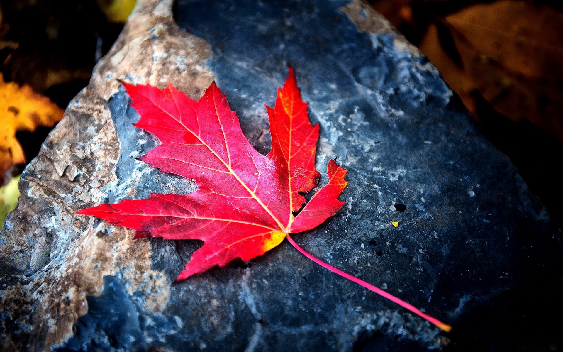 red leaf backgrounds wallpapers1 Leaf Photography