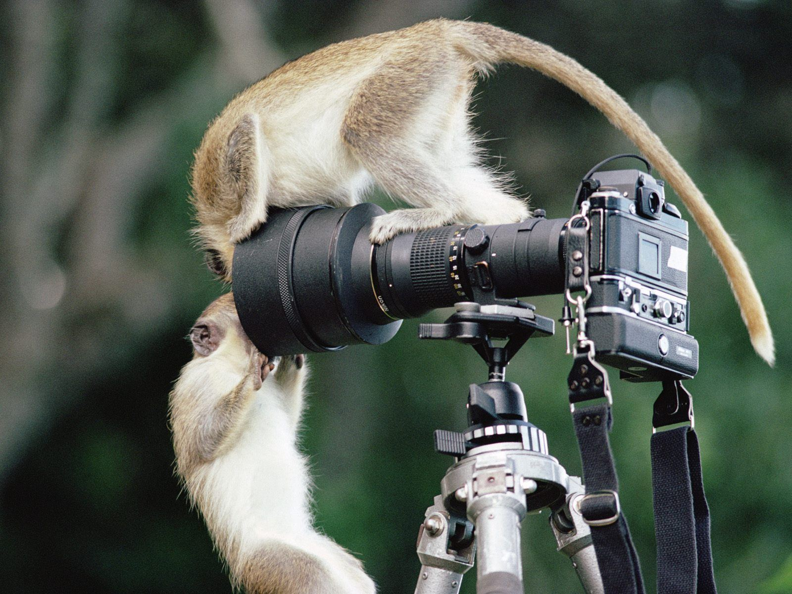 Monkeys pic Animals and Camera